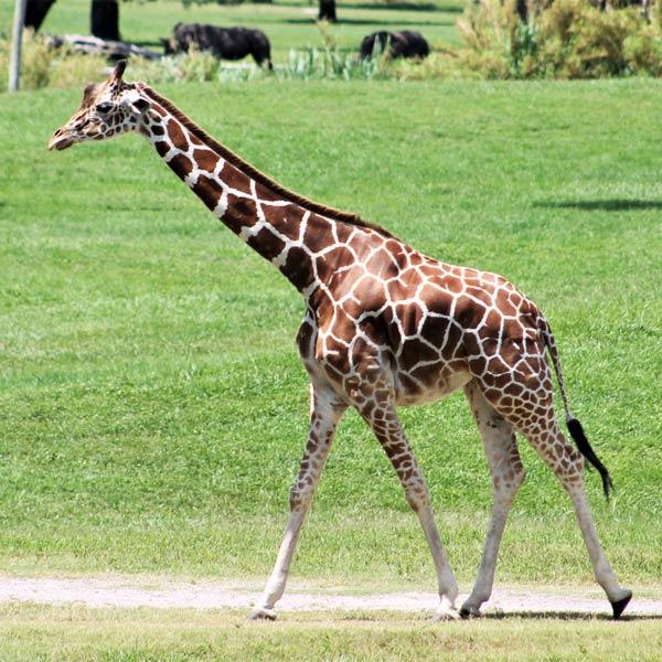 Giraffe at Lowry Park Zoo